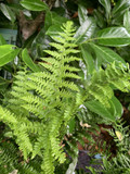 Dryopteris affinis Crispa (Scaly Male Fern)