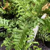 Dryopteris affinis Cristata The King  (Scaly Male Fern)