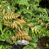 Dryopteris erythrosora 'Brilliance' (Copper Shield Fern)