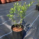 Ligustrum vulgare (Wild Privet) 20-30cm - potted