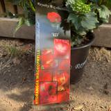 Hydrangea macro. Arabesque (Royalty Collection)