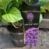 Hydrangea macro. Green Flair Purple (Royalty Collection)