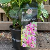 Hydrangea macro. Spotlight Pink - (Royalty collection)