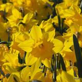 Yellow Trumpet Daffodil 'Standard Value'