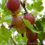 Gooseberry 'Hinnonmaki Red' 3ltr pot