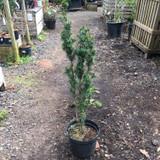 Taxus baccata 'Fastigiata' (Irish Yew) 3ft