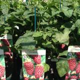 Tayberry 'Buckingham' 3ltr pot
