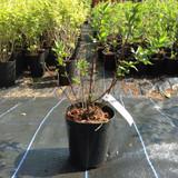 Cornus mas 30-40cm - potted
