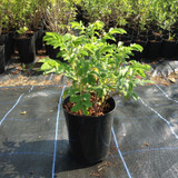 Rosa rugosa 'Alba' (White Japanese Rose) 30-40cm - potted