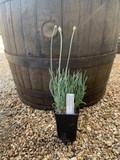Allium senescens ssp. Glaucum