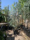 Eucalyptus gunnii (6-7ft)