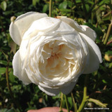 Rose 'Claire Austin' -David Austin Potted