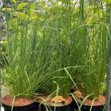 Pennisetum al. Hameln (Grass) - 3ltr pot