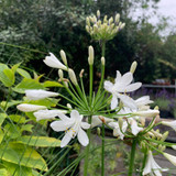 Agapanthus Bridal Bouquet - 3ltr