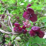 Akebia quinata- 4ltr