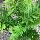 Fern Woodwardia fimbriata - 2ltr pot