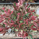 Photinia 'Pink Marble' 7.5ltr