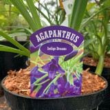 Agapanthus 'Indigo Dreams' - 3ltr pot