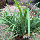 Carex laxiculmis Bunny Blue (Grass) - 2ltr pot