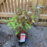 Cornus alba 'Baton Rouge' 3ltr pot