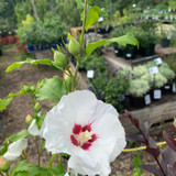 Hibiscus 'Red Heart' - 5ltr pot