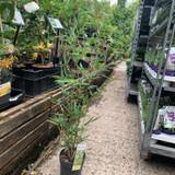 Phyllostachys aureosulcata (Bamboo) 70-80cm