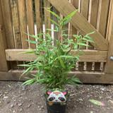 Fargesia rufa (Fountain Bamboo) 40-50cm