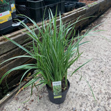 Carex morrowii 'Ice Dance' (Grass)