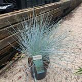 Festuca glauca 'Azura Blue' (Grass)