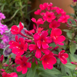 Phlox paniculata 'Early Red'