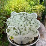 Phlox paniculata 'Early' White'
