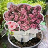 Phlox paniculata 'Pink Candy'