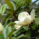 Magnolia grandiflora 'Ferruginea' - 8-10ft