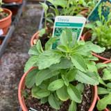 Stevia rebaudiana (11cm pot)