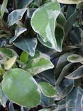 Trachelospermum jas Variegatum - 3ltr pot