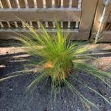 Stipa tenuissma 'Pony Tails' (Grass) - 3ltr pot