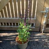 Salvia 'Caradonna' - 3ltr pot
