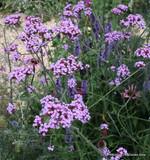 Verbena bonariensis - 3ltr pot