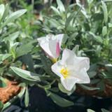 Convolvulus cneorum - 3ltr pot