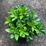 Pachysandra 'Green Carpet' - 3ltr pot