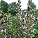 Acanthus mollis 'Latifolius Group' - 3ltr pot