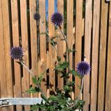 Echinops ' Veitch's Blue' - 3ltr pot