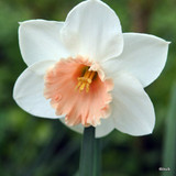 Large Cup Narcissi 'Pink Smiles'