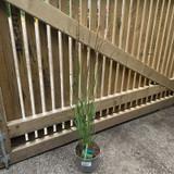 Calamagrostis ac. Overdam (Grass) - 2ltr pot