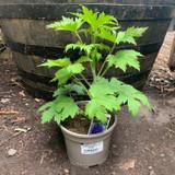 Delphinium 'Dark Blue Dark Bee' - 2ltr pot