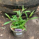 Verbena bonariensis - 2ltr pot