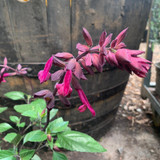 Salvia Love & Wishes - 2ltr pot