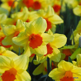 Large Cup Narcissi 'Pipe Major'