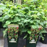 Raspberry 'Ruby Beauty' - 2ltr pot