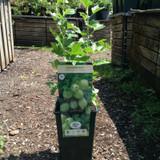 Gooseberry 'Hinnonmaki Green' - 3ltr pot